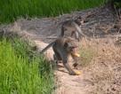Bầy khỉ hoang đại náo làng quê
