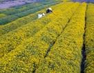 Ngắm vườn cúc chi vàng ngút tầm mắt ở Hưng Yên