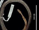 """Phát hiện loài rắn mới ... bên trong """"dạ dày"""" một con rắn khác"""