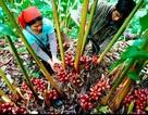 """""""Vàng đỏ"""" giúp đổi đời người dân Lai Châu"""