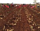 Hành trình 10 năm trồng khoai tây bền vững của nhà nông Đơn Dương