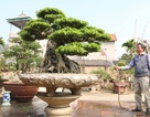 Chiêm ngưỡng sanh cổ dáng phượng giá triệu đô của ông vua cây cảnh Việt Nam