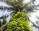 Độc chiêu trồng tiêu cho bám thân dừa mang hiệu quả kép