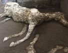 Phát hiện xác ngựa còn nguyên yên cương sau thảm hoạ khủng khiếp Pompeii