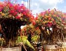 """Gần Tết, rộ mốt hoa giấy bonsai """"khủng"""" giá cả trăm triệu đồng"""