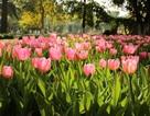 Chiêm ngưỡng vườn hoa xuân Keukenhof – Hà Lan tại Ecopark