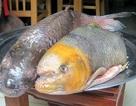 """Những loài cá """"đắt như vàng"""" luôn được săn lùng"""