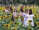 """Giới trẻ thích thú """"check in"""" tại vườn hoa hướng dương """"gây sốt"""" ở Hà Nội"""