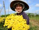 Trồng hoa đón Tết, nông dân thu lãi 10-15 triệu đồng/sào cúc trái vụ