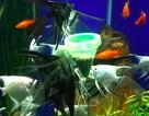 Kỹ sư viễn thông thành công với mô hình nuôi cá cảnh