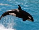 Lần đầu tiên ghi được cá voi sát thủ sử dụng ngôn ngữ loài người