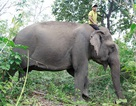 Gặp cậu bé nhỏ tuổi nhất Bản Đôn cưỡi voi nặng gần 4 tấn