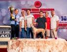 Chó Phú Quốc - Giống chó tinh khôn và đa tài