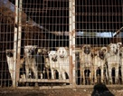 Nhà hàng thịt chó ở Pyeongchang vẫn mở cửa đón khách trong thời gian thế vận hội