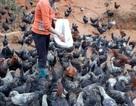 Tuyệt chiêu nuôi gà đen bán Tết của gái Mông 9x