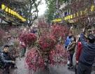 Sắc đào đỏ rực chợ hoa Tết đặc biệt ở phố cổ Hà Nội