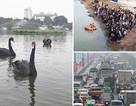 Bất ngờ đàn thiên nga ở hồ Hoàn Kiếm, Hà Nội tắc nghiêm trọng ngày cận Tết
