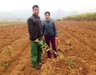 Cận Tết, một hộ dân bị kẻ xấu chặt hạ 500 cây cam