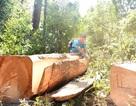 Vụ phá rừng cận tết: Cuộc chiến giữ rừng cuối năm