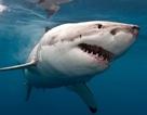 Rợn người trước cảnh 5.500 con cá mập trắng ngoài khơi Australia