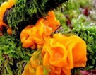 Kỳ lạ giống mộc nhĩ vàng siêu hiếm, giá 6,5 triệu đồng/kg