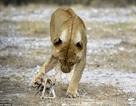 Sư tử gây sửng sốt khi chăm sóc linh dương như con đẻ