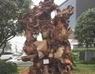 """Ngắm gốc gỗ trai đỏ thế """"bạt phong hồi đầu"""" nghìn năm tuổi ở Hà Nội"""