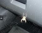 Lí do tại sao hay tìm thấy nhện trong xe