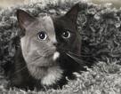 Chú mèo nổi tiếng khắp thế giới nhờ hai màu mặt hiếm có