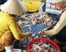 Sau Tết, cá khoai lên giá 105.000 đ/kg, ngư dân lãi 10 triệu/ngày