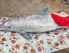 Hàng trăm người dân làm lễ chôn cất cá heo, cá ông