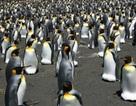 Chim cánh cụt Vua có lẽ sẽ sớm di cư