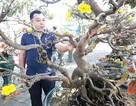 """Đại gia """"săn"""" mai bonsai cổ thụ hàng trăm triệu đồng về chơi Tết"""