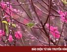 Hà Nội: Đào Thất Thốn nở đúng dịp Tết nhờ chăm sóc phù hợp