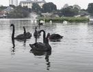 """Ngạc nhiên khi 12 con thiên nga """"bay"""" từ Hồ Gươm sang hồ Thiền Quang"""