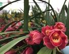 Địa lan Trung Quốc giá rẻ tràn ngập các chợ hoa Hà Nội
