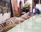 Kỳ lạ gia đình nuôi cá sấu trong nhà