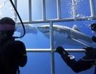 Bơi cùng cá mập khiến con người muốn cứu lấy loài vật này