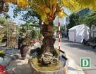"""Cây dừa """"lạ"""" hơn 60 năm sống trên đá vẫn cho trái"""