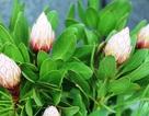"""Trong """"nháy mắt"""", bán hết vèo loài hoa Protea dù giá... ngất ngưởng"""