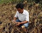 """Những vụ phá hoại nhằm thẳng vào """"nồi cơm"""" của người nông dân"""