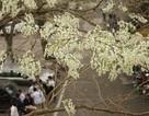 Bạn trẻ rủ nhau đi chụp ảnh mùa hoa sưa nở trắng trời