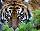Nhân viên vườn thú tử vong vì bị hổ tấn công