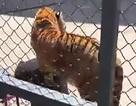 Nhân viên sở thú Trung Quốc bị hổ nuôi từ nhỏ vồ chết