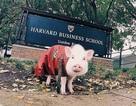 """Chú lợn """"số hưởng"""" nhất, được vi vu du lịch khắp thế giới"""