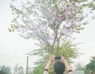"""Dân làng ngỡ ngàng vì vẻ đẹp của """"rừng"""" hoa ban ven đô Hà Nội"""