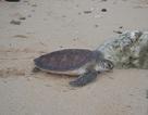 Một phụ nữ bị phạt 10 triệu đồng vì mua bán rùa biển quý hiếm
