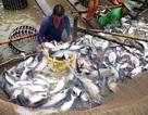Mỹ áp thuế cao khủng khiếp lên cá tra, basa Việt Nam: Bảo hộ quá mức