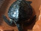 Vận động người dân thả rùa biển quý hiếm về biển