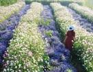 Cánh đồng hoa mới toanh ở Đà Lạt đẹp 'ngất ngây' đốn tim giới trẻ